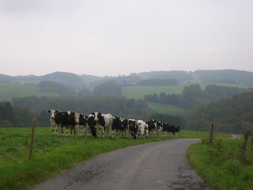 Kühe im Dunst
