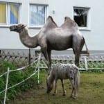 Was macht das Kamel auf der Schulwiese?