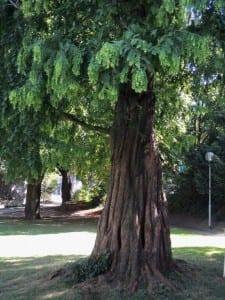 Ein Urweltmammutbaum im Forumpark. Foto: Engelbert M. Müller