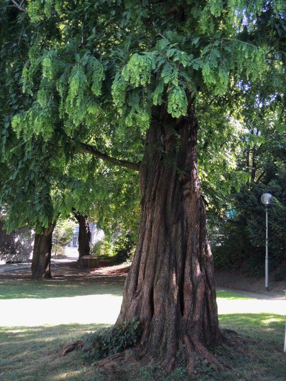 1 Der Urweltmammutbaum