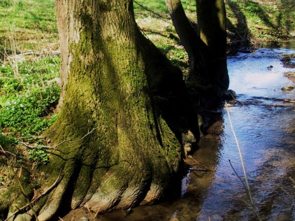 Baum am Weyerbach bei Dürscheid
