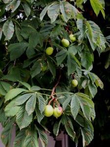 Kastanienfrüchte - zum vergrößern anklicken