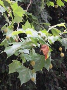 9 Platanenfrüchte