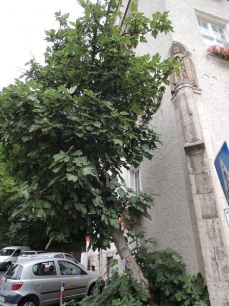 Der Feigenbaum am Rathaus