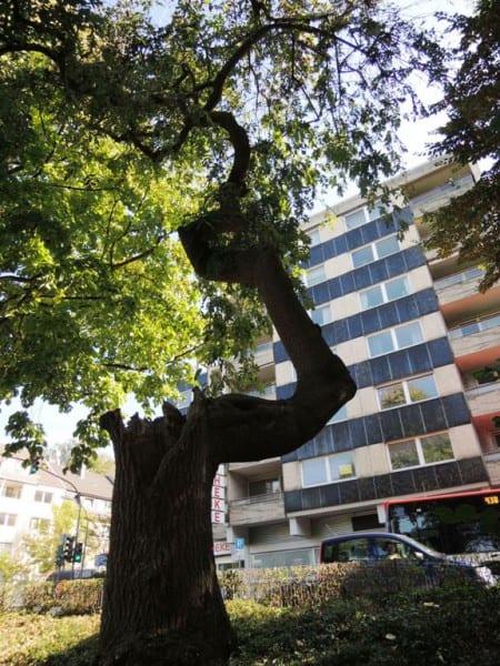 Der Amberbaum