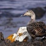 Gisela Schwarz entdeckt für uns Islands Gold