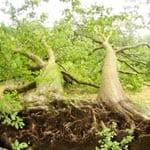 Der Mutzbach: Stärker als Eichen