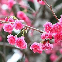 Refrath feiert die Kirschblüte vier Tage lang