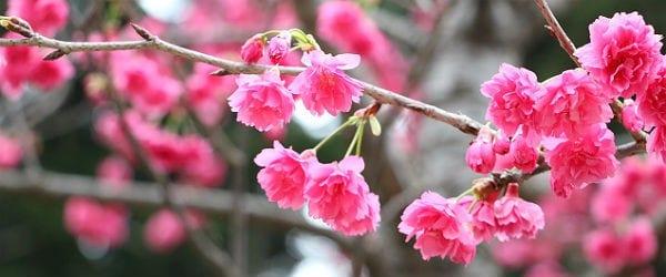 Kirschblüten 600