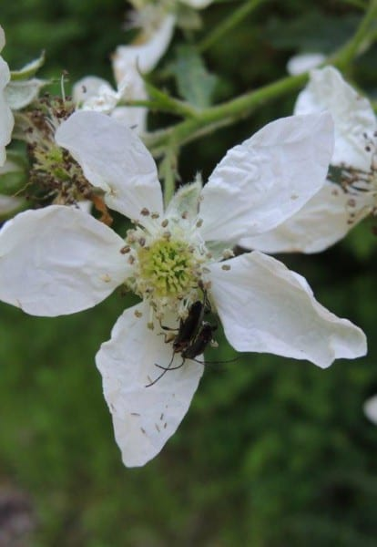 12 Brombeerblüte