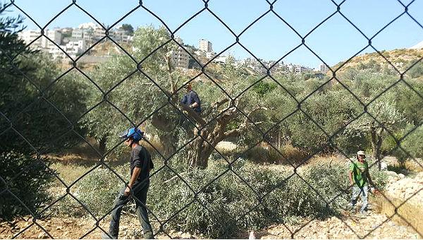 Ein Bagger zerstört in Beit Jala uralte Olivenbäume, um Platz für die Mauer zu schaffen