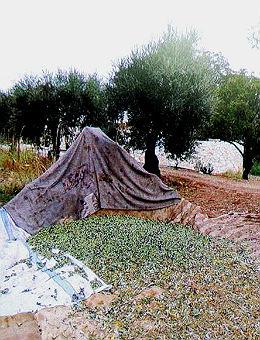Flüchtlinge Olivenernte 260