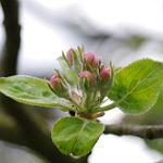Apfelblütenfest als Symbol der Völkerverständigung