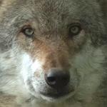 Der Wolf ist zurück