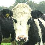 Weniger Milchbauern, mehr Milchkühe