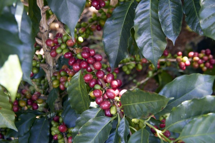 kaffeekirsche2