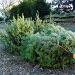 Die Weihnachtsbäume werden ab Montag abgeholt