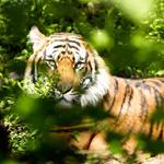 Dschungelbuch kommt als Erzählkonzert nach Bensberg