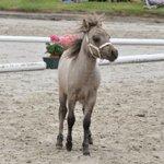 Stuten- und Fohlenschau begeistert Pferdeliebhaber