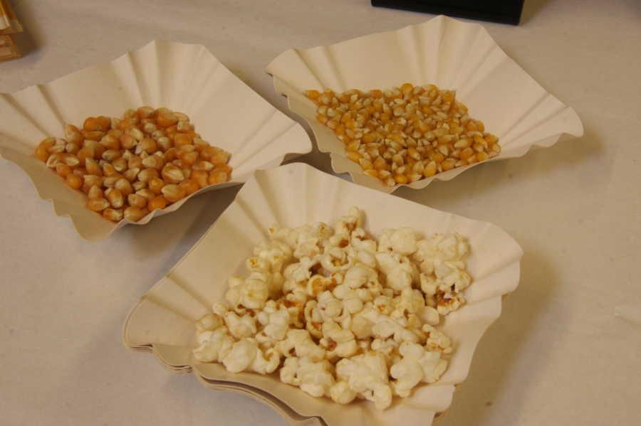 """Links """"normaler"""" Mais, rechts der Ur-Mais. Weil die Körner kleiner sind, ist auch das Popcorn kleiner. Dafür stört aber auch keine Schale. Und der Geschmack ist intensiver. Foto: Sven Schlickowey"""