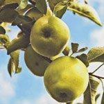 Erster Apfelmost-Tag im Bergischen Museum