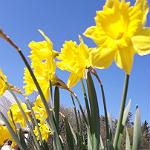 Gartenbauverein sorgt für gelbe Pracht am Brücker Bach